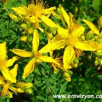 sarı kantarun kullanımı, sarı kantaronun faydaları, sarı kantaron nasıl kullanılır